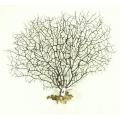 Gorgonia 32 x 31-36 cm lub podobne