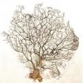 Gorgonia - duża! 48 x 47 cm   lub podobne