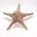 Rozgwiazdy meksykańskie